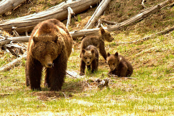 Photograph - Yellowstone Grizzly Triplets With Mom by Adam Jewell