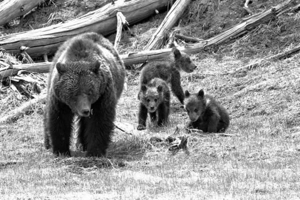 Photograph - Yellowstone Grizzly Triplets With Mom Black And White by Adam Jewell