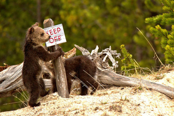 Photograph - Yellowstone Grizzly Vandals by Adam Jewell