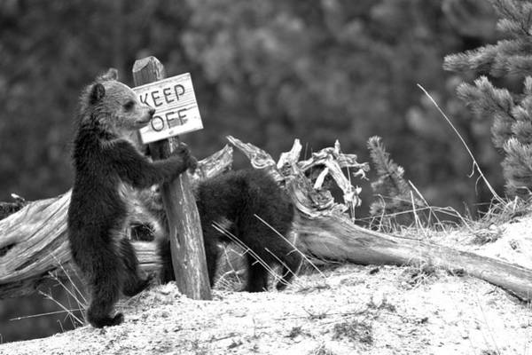 Photograph - Yellowstone Grizzly Vandals Black And White by Adam Jewell