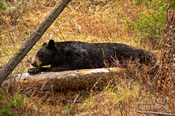 Photograph - Yellowstone Nap Time by Adam Jewell