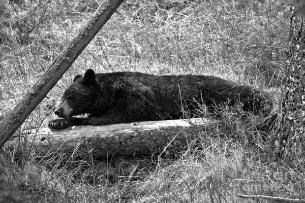 Photograph - Yellowstone Nap Time Black And White by Adam Jewell