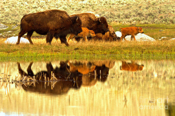 Wall Art - Photograph - Yellowstone Spring Bison March Reflections by Adam Jewell