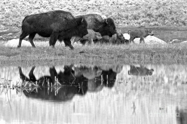 Wall Art - Photograph - Yellowstone Spring Bison March Reflections Black And White by Adam Jewell