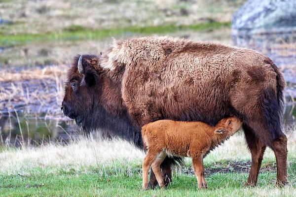 Wall Art - Photograph - Yellowstone Spring Buffalo by Paul Freidlund