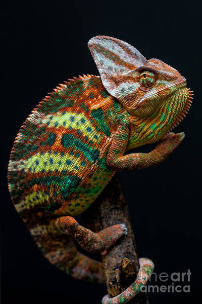 Wall Art - Photograph - Yemen Chameleon by Arturasker