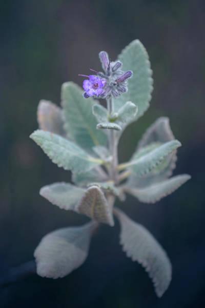 Photograph - Yerba Santa Flower by Alexander Kunz