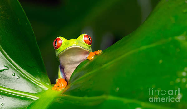 Rain Forest Wall Art - Photograph - Yo A Red Eye Tree Frog by Mark Bridger