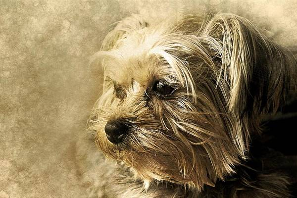 Yorkshire Terrier Painting - Yorkshire Terrier by ArtMarketJapan