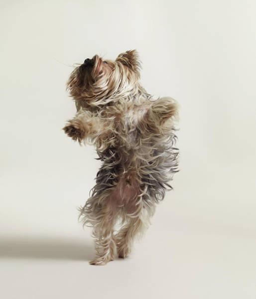 Photograph - Yorkshire Terrier by Dan Burn-forti
