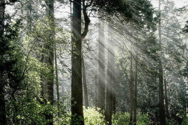 Wall Art - Photograph - Yosemite Forest Light by Donna Kennedy