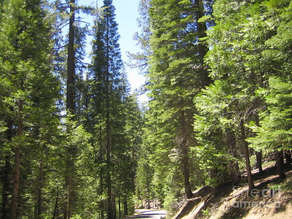 Photograph - Yosemite National Park Looking At Row After Row Of Beautiful Trees Along The Road by John Shiron