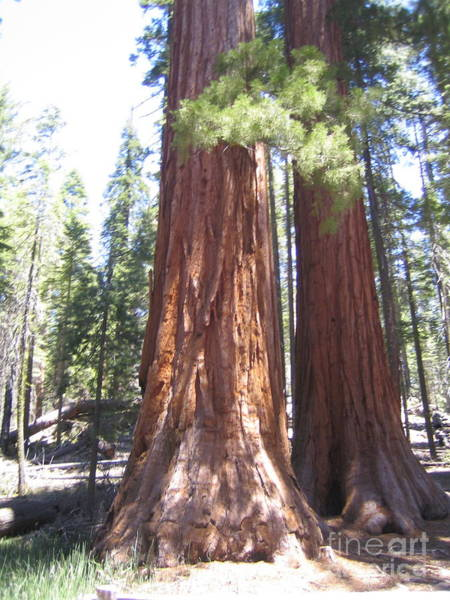 Photograph - Yosemite National Park Mariposa Grove Twin Giant Ancient Trees by John Shiron