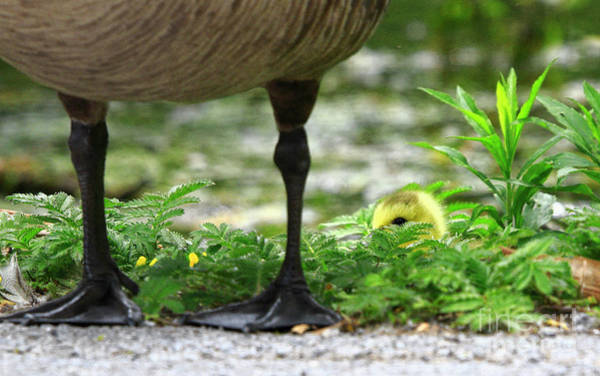 Mother Goose Photograph - You Are My Hero by Charline Xia