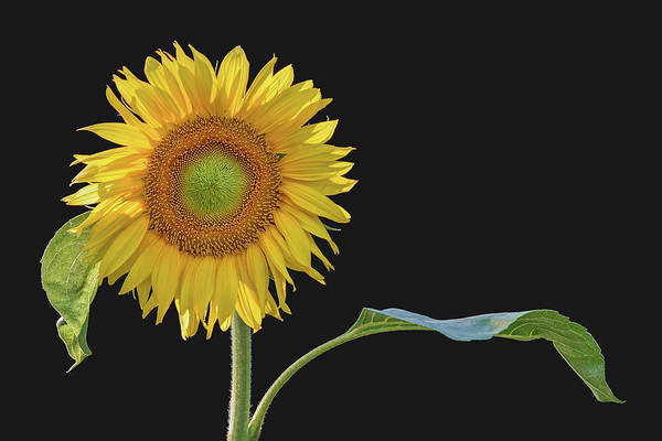 Wall Art - Photograph - You Are My Sunshine - Sunflower by Nikolyn McDonald