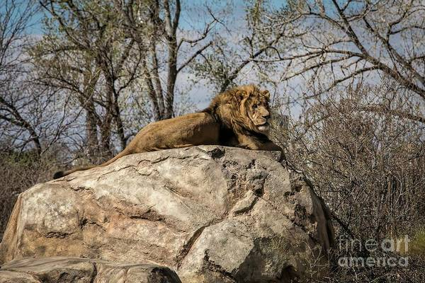Photograph - You Can't Hide Those Lion Eyes by Jon Burch Photography