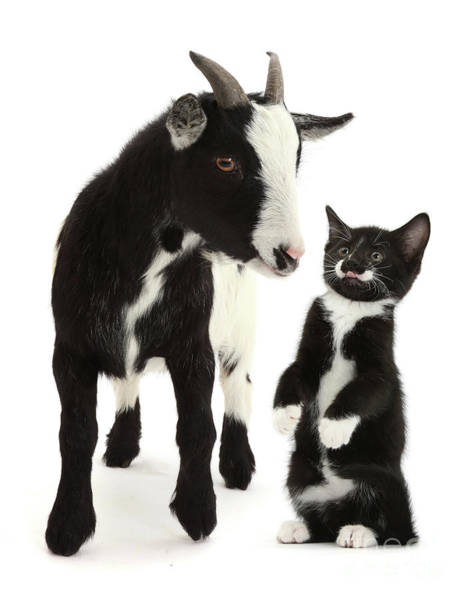 Photograph - You Have Goat To Be Kitten by Warren Photographic