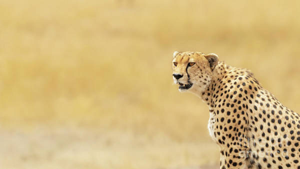 Wall Art - Photograph - Young Adult Cheetah Banner by Jane Rix