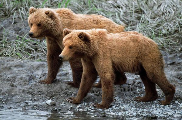 Wall Art - Photograph - Young Alaskan Brown Bears Ursos Arctos by Panoramic Images