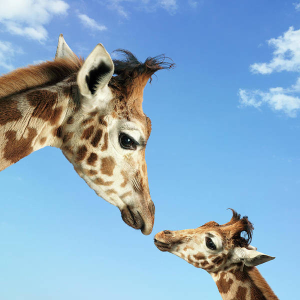 Safari Animal Photograph - Young And Adult Giraffes Looking Face by Digital Zoo