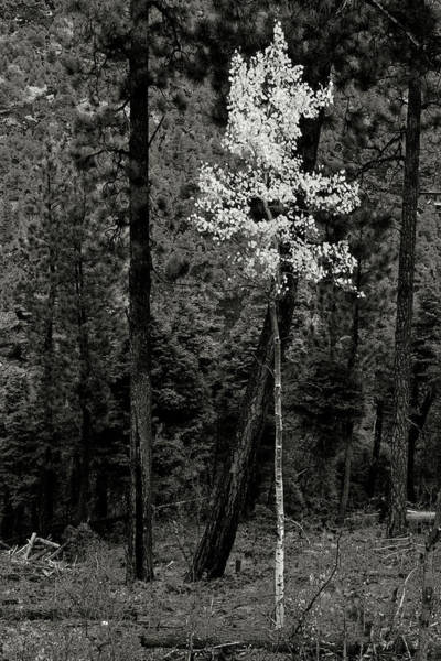 Photograph - Young Aspen Among Old Evergreens by Robert Woodward
