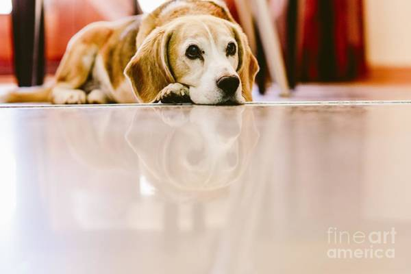Photograph - Young Beagle Dog Rested Inside A House by Joaquin Corbalan