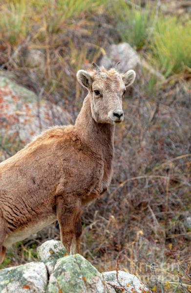 Photograph - Young Bighorn Sheep In The Mountains by Steve Krull