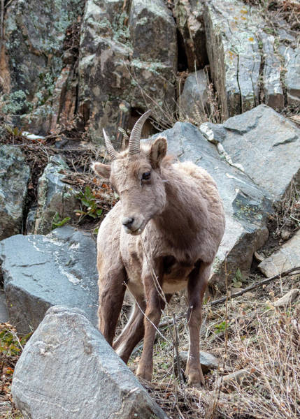 Photograph - Young Bighorn Sheep In Waterton by Steve Krull