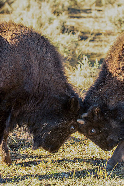 Photograph - Young Bison by Pete Federico