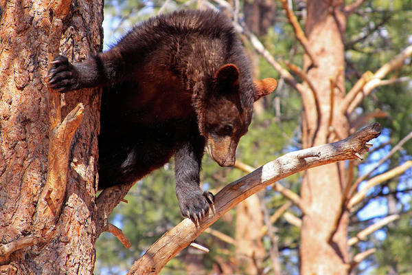 Photograph - Young Black Bear In Tree 2, Arizona by Dawn Richards