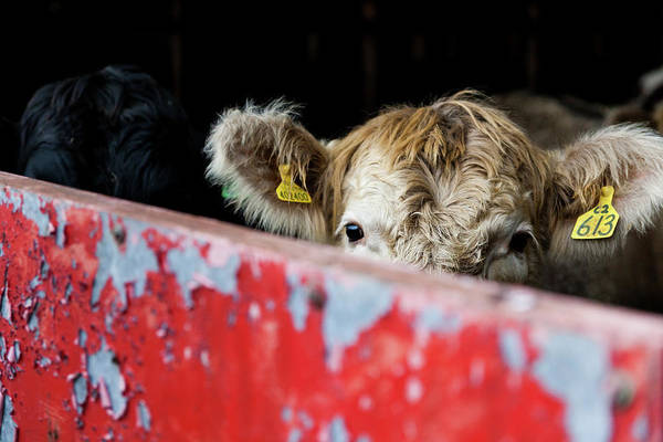 Blonde Photograph - Young Blonde Cow And Red Metal Barn Door by Anita Nicholson