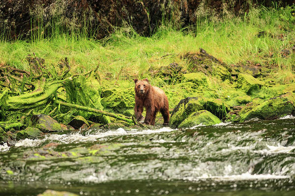 Bear Creek Photograph - Young Brown Bear Fishing For Spawning by Stuart Westmorland