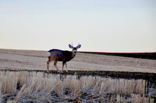 Photograph - Young Buck by Chance Kafka