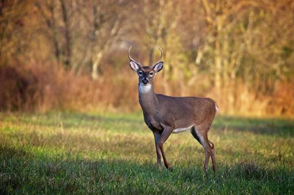 Photograph - Young Buck by John Benedict