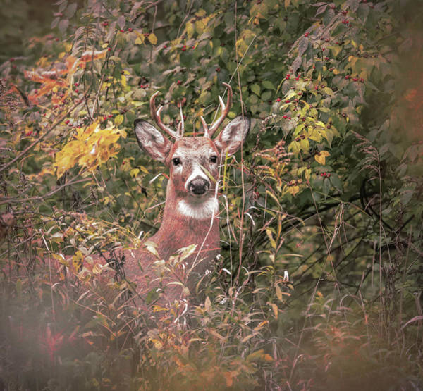 Photograph - Young Buck Portrait by Dan Sproul