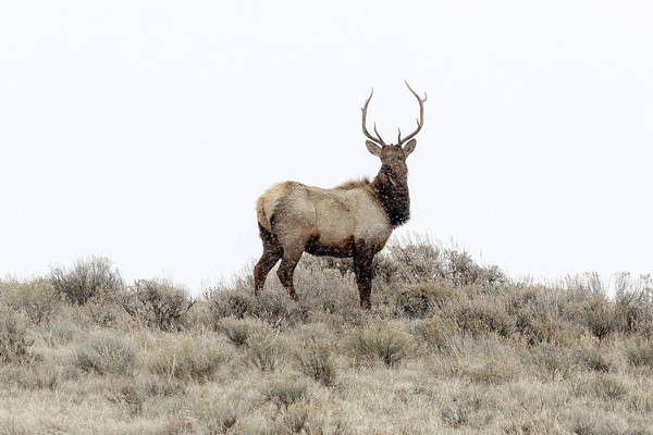 Photograph - Young Bull Elk by Ronnie and Frances Howard