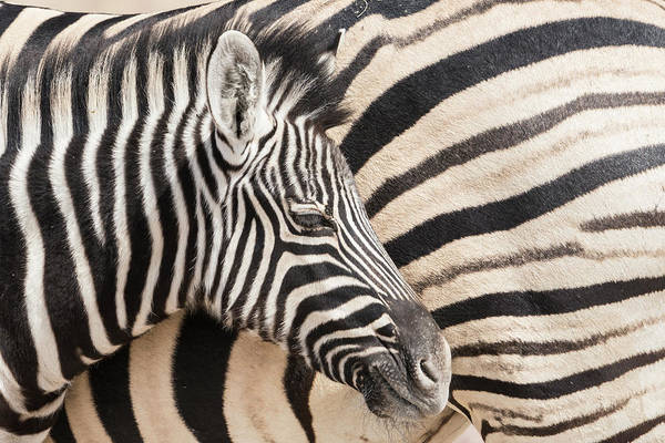 Wall Art - Photograph - Young Burchell's Zebra, Nestles by Brenda Tharp