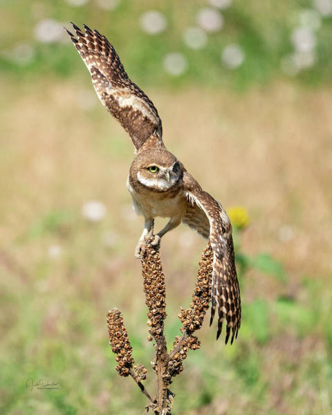 Photograph - Young Burrowing Owl On Mullein by Judi Dressler