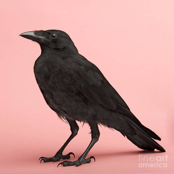 Claw Wall Art - Photograph - Young Carrion Crow - Corvus Corone 3 by Eric Isselee
