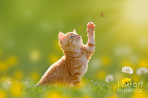 Wall Art - Photograph - Young Cat  Kitten Hunting A Ladybug by Photo-sd