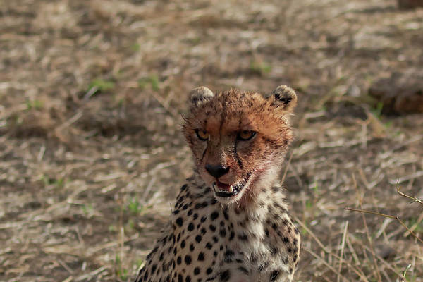 Photograph - Young Cheetah by Thomas Kallmeyer
