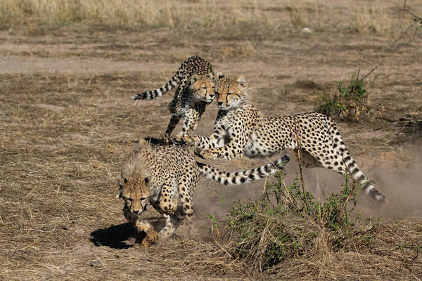 Photograph - Young Cheetahs by Thomas Kallmeyer