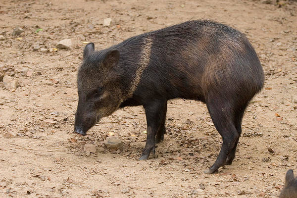 Wall Art - Photograph - Young Collared Peccary by David Hosking