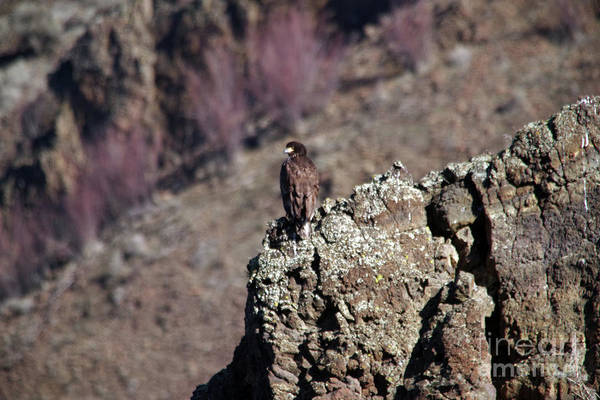 Wall Art - Photograph - Young Eagle On The Rocks by Jeff Swan