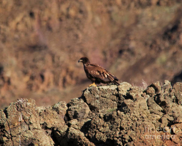 Wall Art - Photograph - Young Eagle Perched On A Rocky Ledge   by Jeff Swan