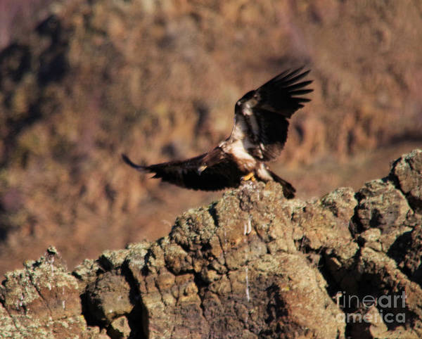 Wall Art - Photograph - Young Eagle Takes Off by Jeff Swan