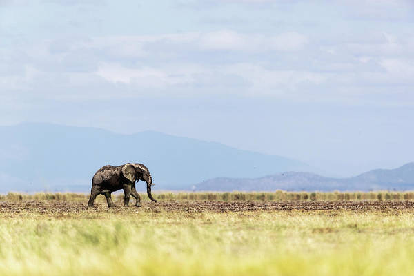 Wall Art - Photograph - Young Elephant Walking Alone In Amboseli Kenya by Susan Schmitz