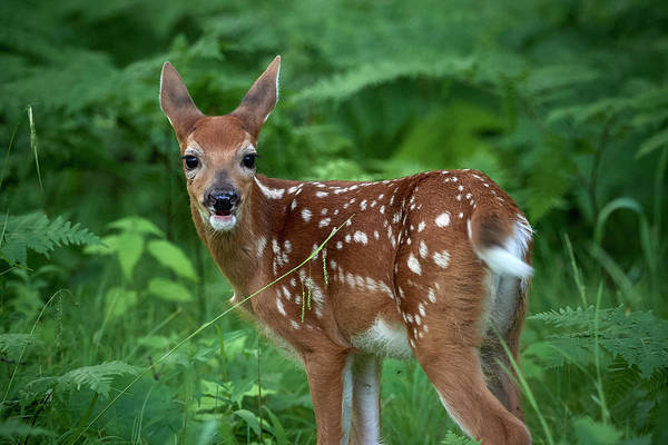 Wall Art - Photograph - Young Fawn by Paul Freidlund