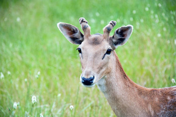 Deer Photograph - Young Fawn, Red Fallow Deer Buck by Sharon Vos-arnold