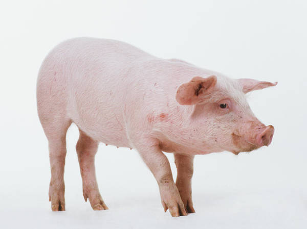 Pig Photograph - Young Female Pig Sus Domestica, Side by Bill Ling